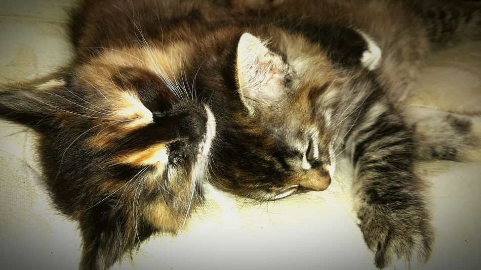 Beautiful lil Sisters💜💚 Pets Domestic Animals Mammal Animal Themes Domestic Cat Indoors  Feline Close-up No People Sweet Tortiesrule Tortoiseshell Kitten Whisker Baby Tortoiseshell Kiiten Tortoise Shell Color