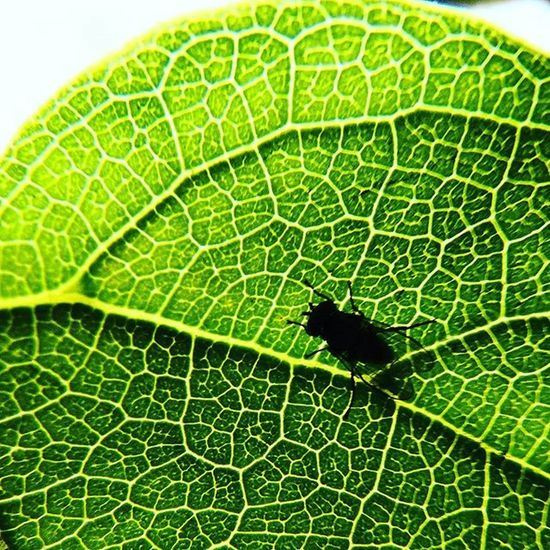 Mini-fly on a leaf. Hojas Hoja Mosca Fly Green Closeup Nature Natureperfection Excellent_nature Naturephotography Naturelovers Nature_perfection Verde Instanature Macro Macro_perfection Macrophotography Instamacro Macroshot Macrocaptures Insect Macrogardener Mexico Cdmx Instalike instagood plant macrolove macrolovers