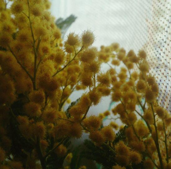 Желтые мимозы. цветы натюрморт весна Flowers Still Life Spring