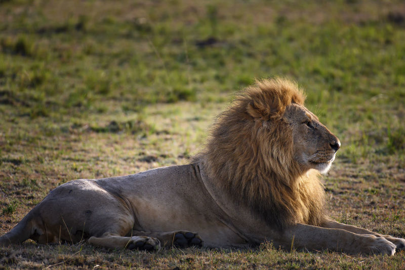 Lion relaxing on a field
