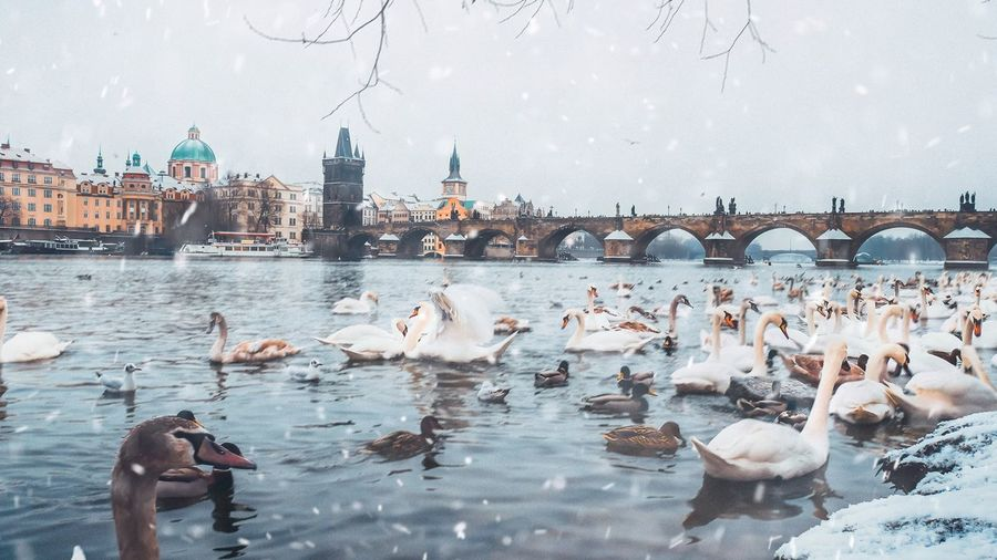 Bird Large Group Of Animals Animal Themes Water Animals In The Wild Built Structure Architecture Winter Nature Building Exterior Outdoors No People Cold Temperature Day Swan Prague Czech Republic Vltava River Animals Snowflake Snowy Motion Bridge Elegant Beauty In Nature