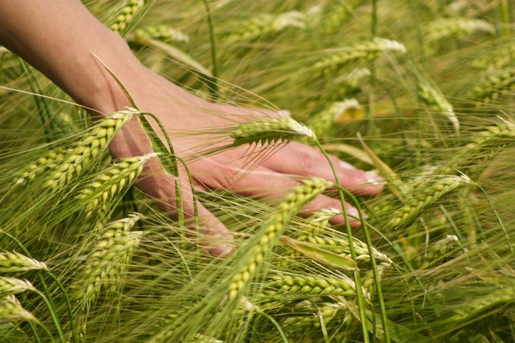 Cropped hand of person touching crops growing in farm