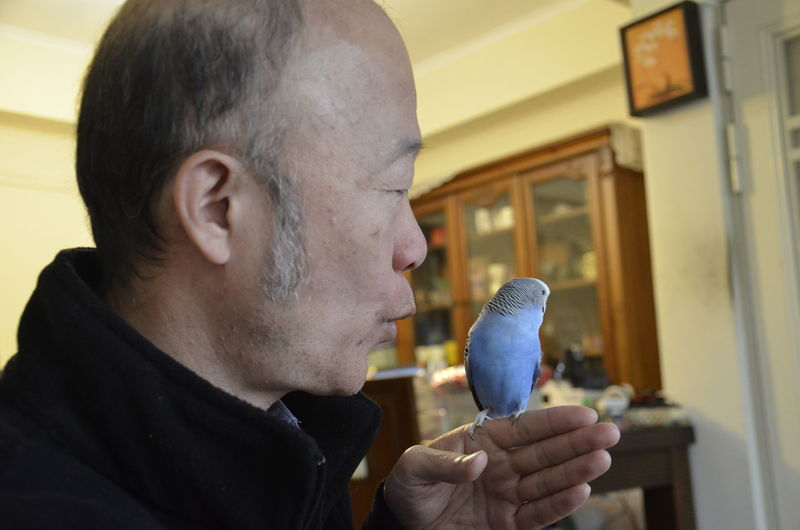 Close-up of mature man playing with budgerigar at home