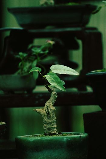 Bonsai Tree Archive And Record Material Nature's Miracle One Of A Kind  Nature_collection Naturelover Tree_collection  Nature_perfection Photo Of The Day EyeEm Best Edits Eyem Gallery