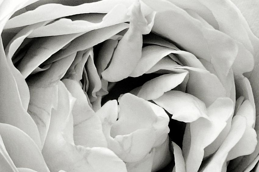 Pastel Flowers Vintage Roses White WhiteCollection White Album Monochrome Black And White Blackandwhite Photography White Flower White Rose White Collection Eyeem White Flower EyeEm Gallery EyeEm Nature Lover EyeEm Best Shots - Black + White Rose Collection Black And White Friday