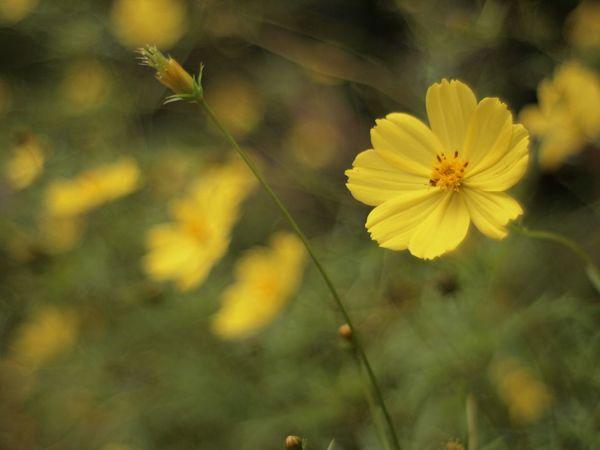 キバナコスモス EyeEm Nature Lover 秋 Autumn Colors Flowers Yellow Flowers Takumar 瀬音の湯 Japan
