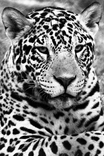 Leopard Panther Blackandwhite Feline Big Cat Animal Themes Cat One Animal Animal Mammal Animal Wildlife Animals In The Wild Animal Markings Animal Body Part Animal Head  Outdoors