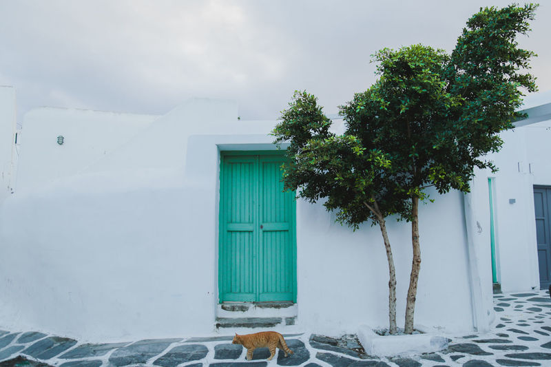 Yellow cat taking a walk around Mykonos, Greece. Architecture Blue Door Cloudy European  Greek Local Mediterranean  Tree Background Cat Clean Colorful Door Greece Island Monochrome Simplicity Stray Cat Summer Turquoise Vacation Vibrant Village White Background Yellow Cat