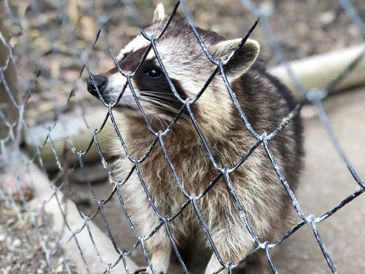 Racoon Perfect Poing Zoo Tierpark Captured Catch Face Waschbär Racoon EyeEm Selects Animal Themes One Animal Animal Mammal Focus On Foreground Close-up No People Day Nature Animal Wildlife Brown Outdoors
