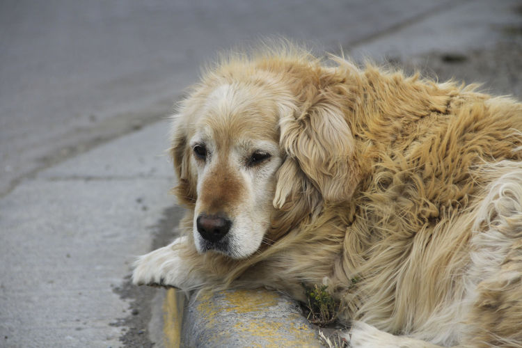 Dog Canine One Animal Mammal Animal Themes Domestic Pets Domestic Animals Animal Vertebrate Golden Retriever Looking No People Day Retriever Focus On Foreground Looking Away Animal Body Part Relaxation Animal Head  Depression - Sadness