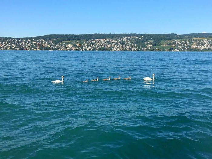 Babyswans Swans Lake Zürich Lake Water Animal Themes Animal Vertebrate Waterfront Nautical Vessel Animals In The Wild Animal Wildlife Bird Sky Blue Swimming Outdoors Nature Group Of Animals EyeEmNewHere A New Beginning