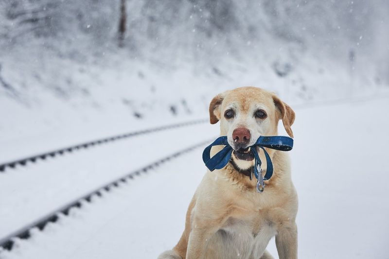 Loaylty dog in winter. Labrador retriever with leash waiting in railroad station covered by snow. Canine Snow Dog One Animal Cold Temperature Winter Pets Domestic Animals Portrait Looking At Camera Holding Hands Leash Pet Equipment Loyalty Waiting Obedience Labrador Retriever Railway Railway Station Railroad Track Travel Transportation Lonely Winter Cute