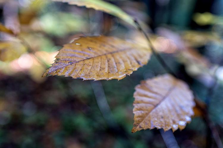 Close-up of autumnal leaf on leaves