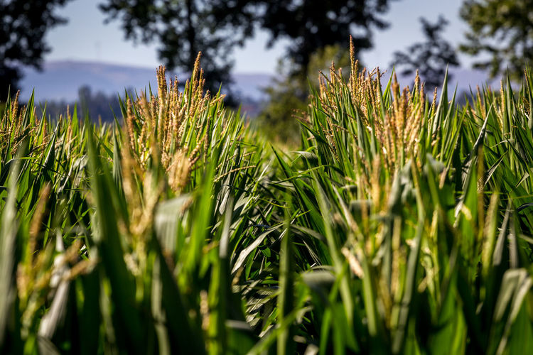 Agriculture Beauty In Nature Cereal Plant Close-up Crop  Day Ear Of Wheat Farm Field Freshness Green Color Growth Nature No People Outdoors Plant Rural Scene Sky Tree Wheat