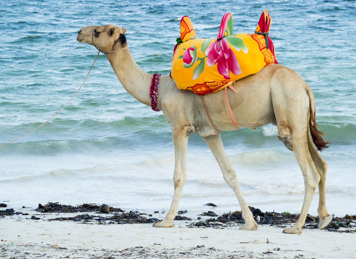 Camel Water Sea
