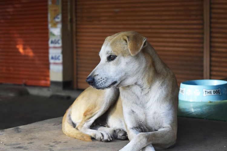 Dog Resting On Table Against Closed Shutters