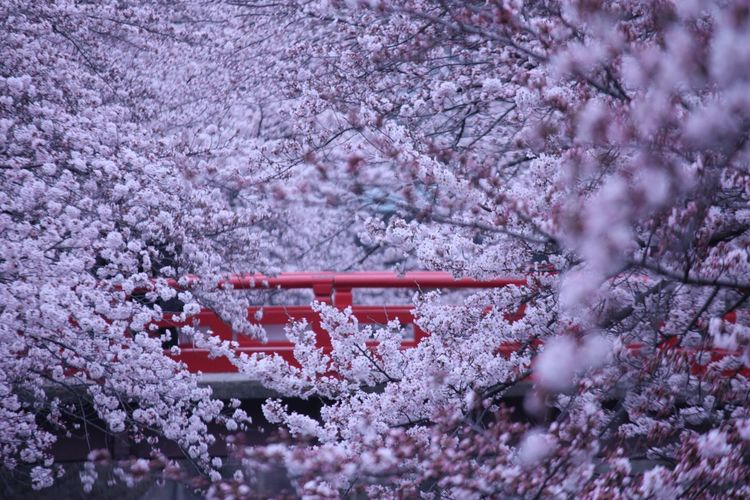 Pink Cherry Blossoms By Footbridge