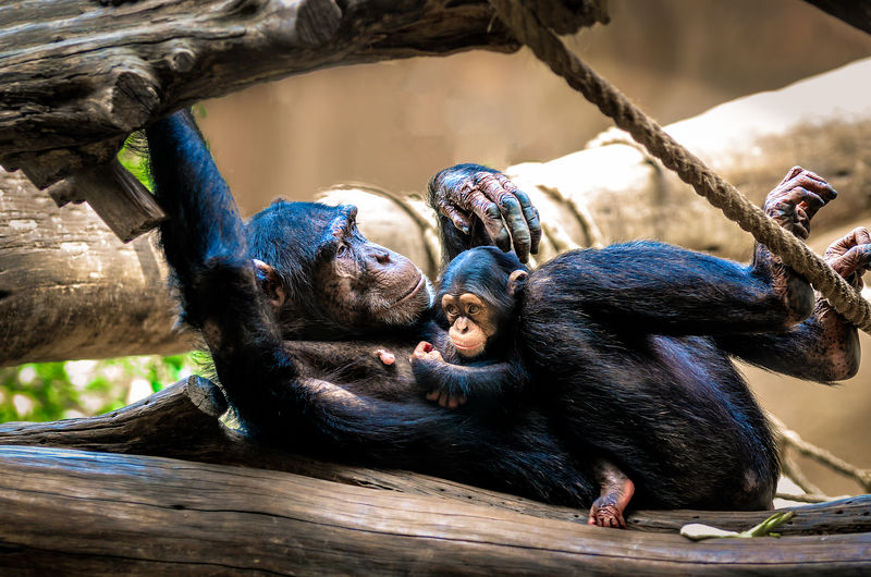 Monkey with infant relaxing on wood