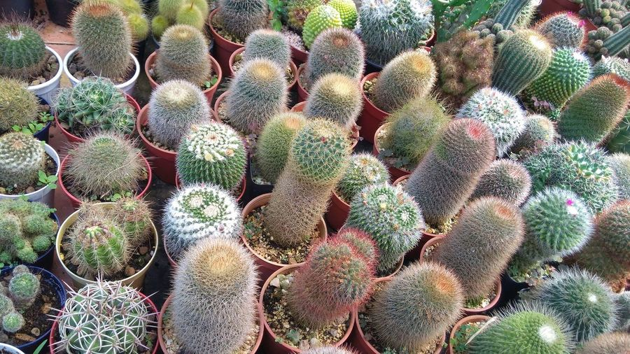 cactus Prickly Pear Cactus Backgrounds Full Frame Cactus Close-up Plant Green Color Aloe Vera Plant Growing Thorn Botany In Bloom Spiked Plant Life Blooming Blossom Sharp Toadstool Flower Head Young Plant Stamen Saguaro Cactus Aloe Bud Petal Fungus Pollen Succulent Plant Dahlia Barrel Cactus