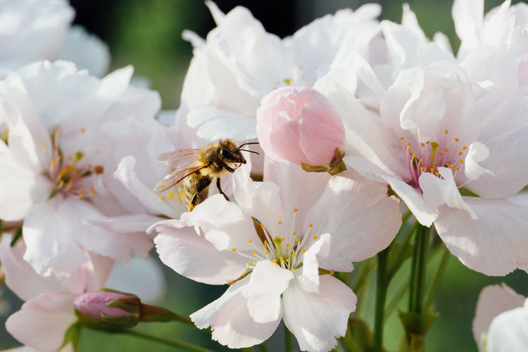 Bee pollinating cherry flowers Animal Themes Beauty In Nature Bee Cherry Blossom Cherry Tree Flower Flower Head Flowering Plant Flowers Fragility Freshness Growth Insect Invertebrate Petal Pink Color Plant Pollen Pollination Pollinator