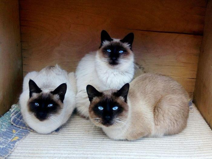 Katzenliebe Kitten Adorable Birman Cat Cat Family Cat Facing Camera Cheese! Spy Family Cute Cats