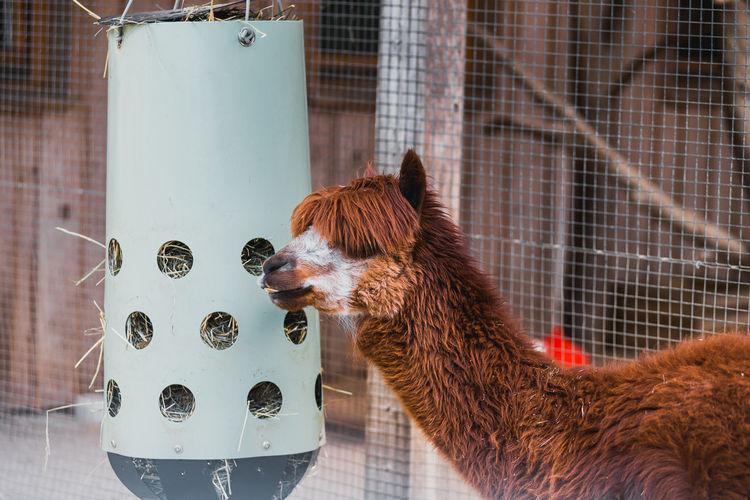 Close-up of a alpaca eating