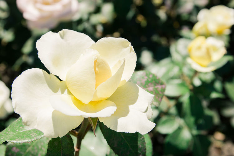 white rose Flowering Plant Flower Beauty In Nature Petal Freshness Plant Vulnerability  Fragility Flower Head Growth Inflorescence Close-up White Color Nature Focus On Foreground Yellow Day No People Outdoors Plant Part Springtime