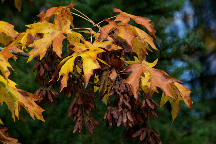 Plant Part Leaf Autumn Plant Yellow Change Close-up Beauty In Nature Nature Growth No People Day Fragility Maple Leaf Fall Natural Condition Orange Color Leaves