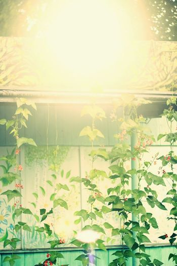 Plants of beans growing up to the roof. Plant Growth No People Nature Indoors  Greenhouse Leaf Day Close-up Freshness Beauty In Nature Tree Sunset Sun Beam Beans Bean Plant