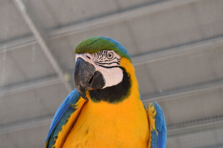 Bird Animal Themes Animal Parrot Vertebrate Macaw Animal Wildlife Gold And Blue Macaw One Animal Animals In The Wild No People Focus On Foreground Beak Close-up Day Blue Outdoors Yellow Multi Colored Animal Body Part Animal Head