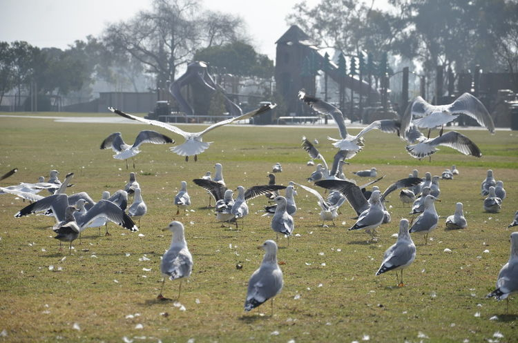 Animal Wildlife Bird Flappy Bird Flying Goose Grass Seagulls Wildlife Lake Elizabeth Fremont California