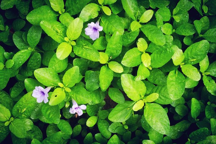 Growth Rainy Days☔ Freshness Beauty In Nature Plant Part Outdoors Backgrounds Plant Leaf Nature Green Color Blossom Raining Season Flower Head
