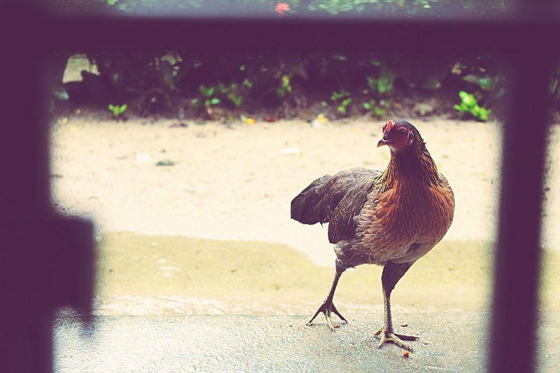 Everyday Joy Landscape Darkness And Light Nature Kampung Chicken.