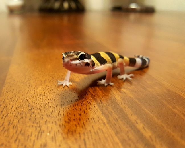 Baby gecko Closeup EyeEmNewHere Creative Space Cute Gecko Leopard Gecko Reptile Inquistive Curious Table Warm Neutral Colors Close Up Orange Color Brown Wood