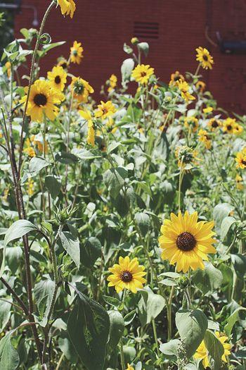 @ Flagstaff, AZ First Eyeem Photo #flagstaff Flowers YellowflowersPretty Outdoors Northernarizona Downtownflagstaff Arizona Outdoors Photograpghy