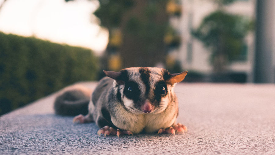 Portrait of sugar glider