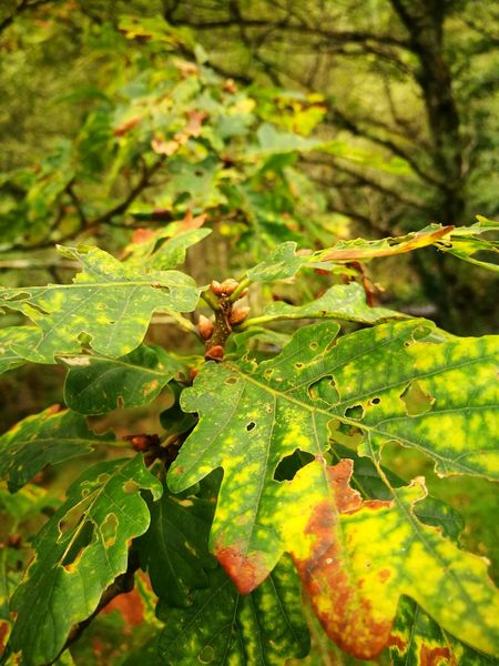 Welsh Oak Tree Cwm Rheidol Wales❤ Huawei P9 Leica