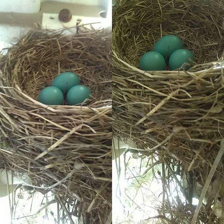 Day 6 Naturephotography Nature Beauty Photography Robin Robineggs Lifephotography Life Eggs Babybirds Babies