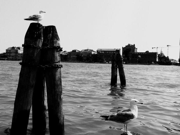 Venice Venice #Italy Blackandwhite Venice Canals Sea Birds Seagul
