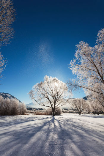 Bare trees on snowcapped field against blue sky