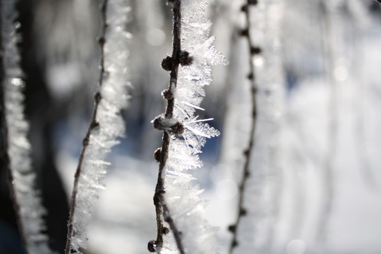 Close-up of frosty twigs during winter