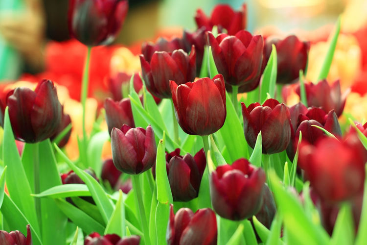 Purple tulips. Flower Flowering Plant Beauty In Nature Plant Freshness Growth Fragility Tulip Vulnerability  Close-up Petal Red Nature Flower Head Inflorescence No People Selective Focus Day Outdoors Green Color