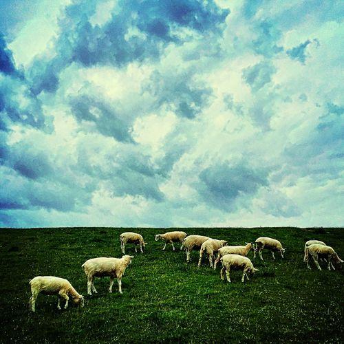 Deich  Schafe Sheep Husum Nordseeküste