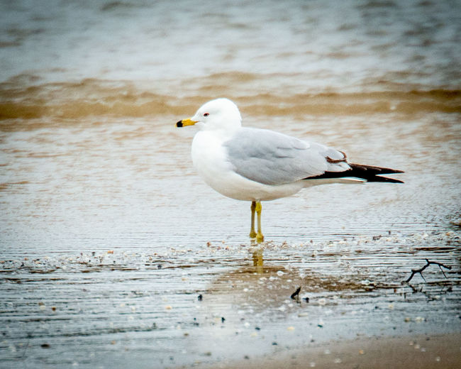 Seagull perching on a wood