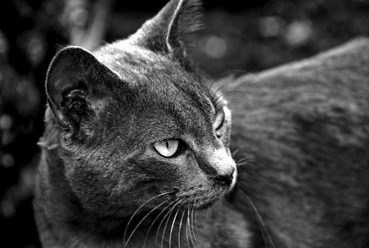 One Animal Animal Themes Animal Head  Domestic Animals Mammal Close-up Pets No People Outdoors Day Portrait Nature Cats Cat Lovers Blackandwhite Photography