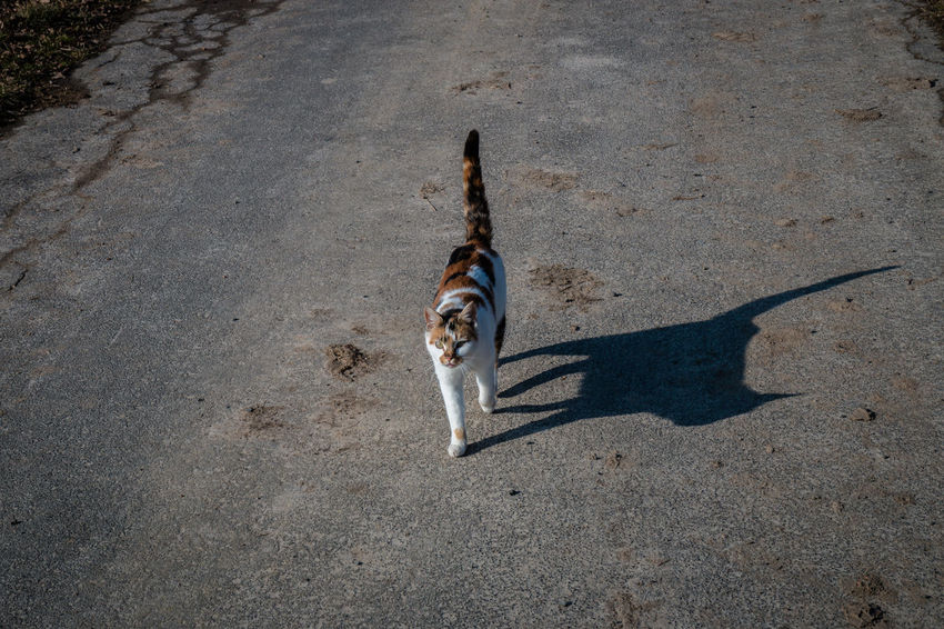 Streetcat. Alley Cat Animal Themes Cat Cat Shadow Country Lane Day Domestic Animals High Angle View Mammal One Animal One Person Outdoors Pets Shadow Streetcat Tail Tricolor Tricolor Cat Nusshain 02 17