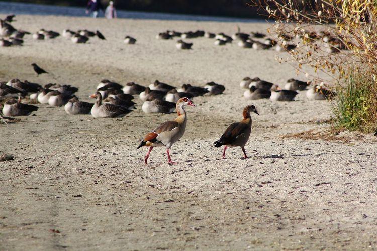 Agyptian Goose Bird Beach Sand Water Animal Themes Geese Goose Greylag Goose