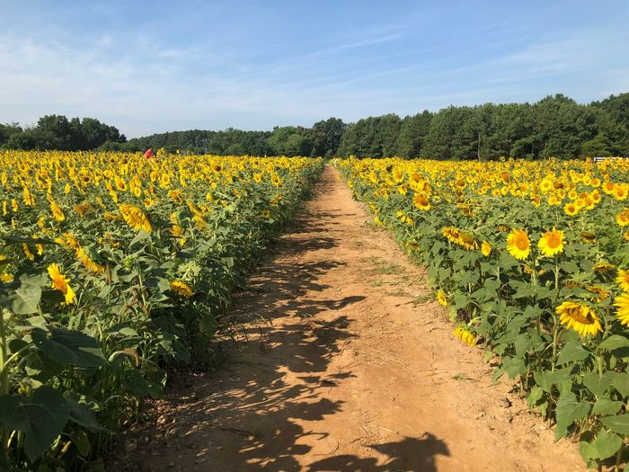 Rows of sunflower EyeEm Selects Plant Beauty In Nature Growth Field Yellow Land Agriculture Landscape Sky Flowering Plant Flower Rural Scene Environment Tranquility Nature Scenics - Nature Tranquil Scene Day No People Sunlight