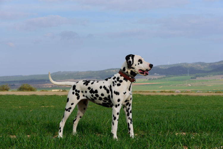 View of a dalmatian dog on field