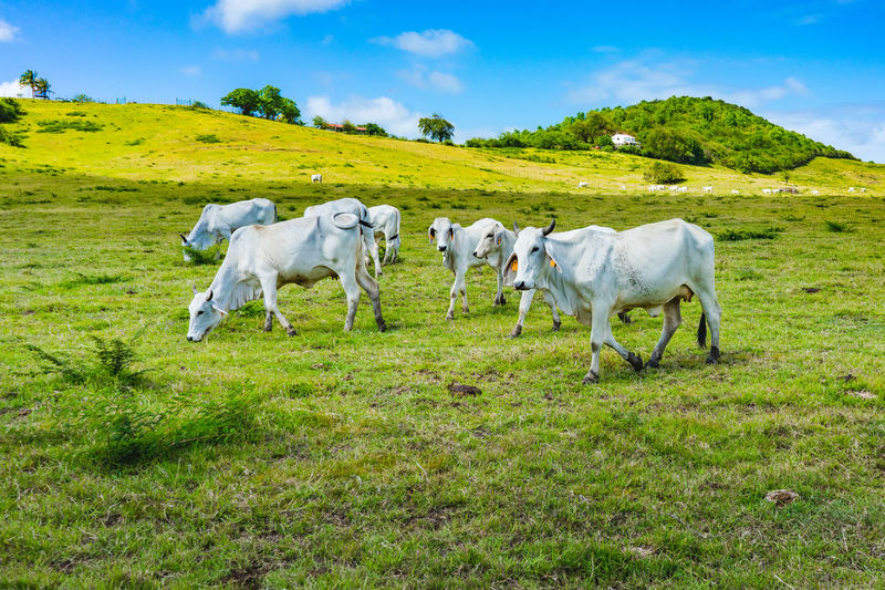 White cows on a green field. Agriculture Rural Scene Sky Grass Animal Themes Livestock Green Color Taurus Bull - Animal Ranch Cow Dairy Farm Calf Domesticated Animal Tag Farm Animal Domestic Cattle
